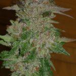 Cannabis photo gallery