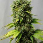 Cannabis photo huge plant