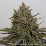 High yield cannabis bud