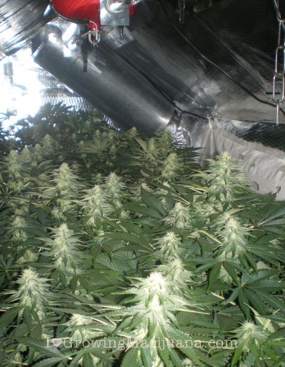 How Much Marijuana Can One Plant Produce A Pound
