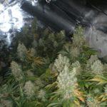how much cannabis per plant?