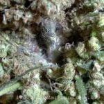 I love marijuana bud rot