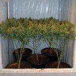 I love marijuana pruning