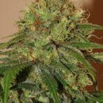 Marijuana photo huge plant