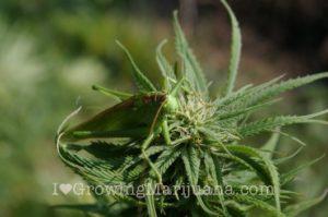 Natural perdators deterrents weed