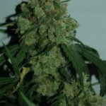 Pictures of cannabis