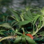 Pruning grow big weed buds