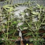 Tips and tricks cannabis pruning