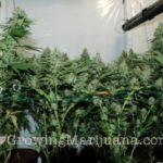 Tips and tricks marijuana pruning