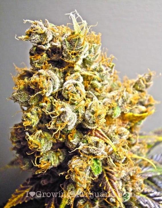 Marijuana pictures - Cannabis buds gallery