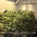 K2 marijuana pictures