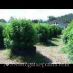 How to grow huge marijuana