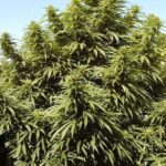Huge outdoor marijuana plant