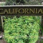 I love growing marijuana california laws