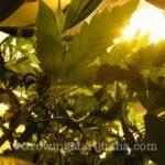 I love marijuana cannabis lighting