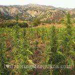 Marijuana almost ready to harvest