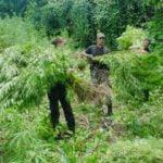Outdoor cannabis harvest plan