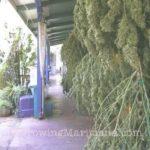 Outdoor weed harvest plan