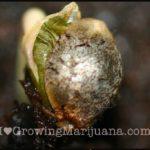 cannabis seed germination