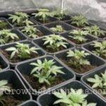 Carbon dioxide marijuana