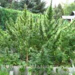 Huge outdoor cannabis buds