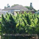 Grow huge marijuana outdoor