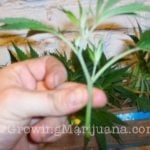 Make your own marijuana clones