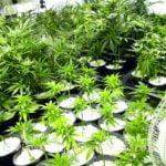 Perlite vermiculite marijuana