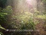 Water sun cannabis plants