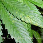 Ca deficiency cannabis