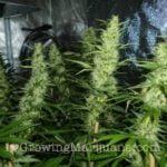 Co2 generator marijuana