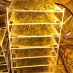 Curing marijuana plants