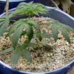 Growing cannabis vermiculite