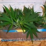 Make weed cuttings