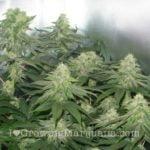 Indoor closet marijuana growing