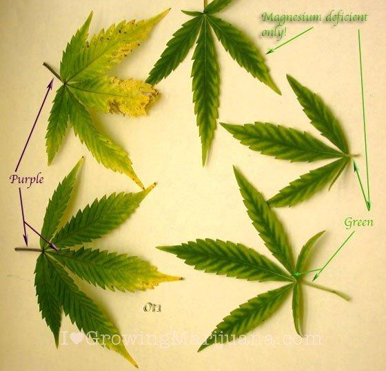 Stop Magnesium Deficiencies In Marijuana Plants Now!