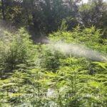 Marijuana irrigation outdoor