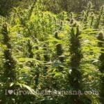 Outdoor cannabis buds
