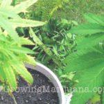 Cannabis Potassium Deficiency Fix