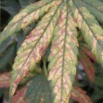 Cannabis Nutrients Deficiencies