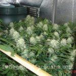 Co2 gas cannabis
