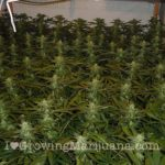 Outdoor marijuana fertilizers