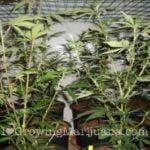 Pruning high yield marijuana plants