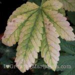 marijuana-How To Treat Nutrients Deficiencies in Cannabis Plants