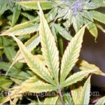 Cannabis leaves magnesium