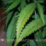 Cannabis nutrients deficiency calcium
