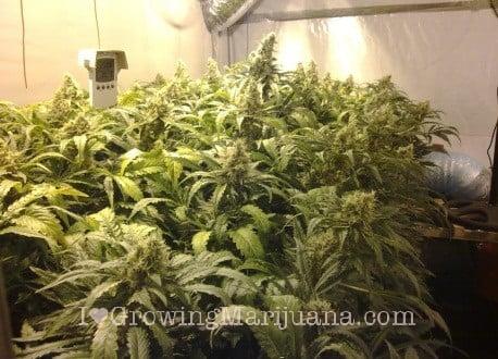 Carbon-Dioxide Generators For Growing Marijuana -