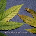 Calcium deficiency weed leaves