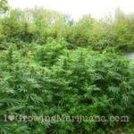 Cannabis wood ashes