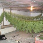 Marijuana buds haning dry